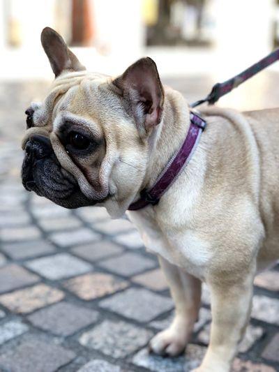 Cityscape Quimper Iphone8plus Quimper Walking Frenchbulldog Dog Portrait