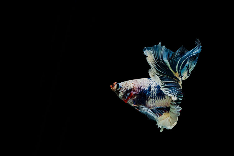 Animal Studio Shot Vertebrate Animal Themes Copy Space Black Background One Animal Animals In The Wild Animal Wildlife Fish Indoors  No People Swimming Water Close-up Bird Nature Cut Out Beauty In Nature Marine Fighting Fish Half Moon