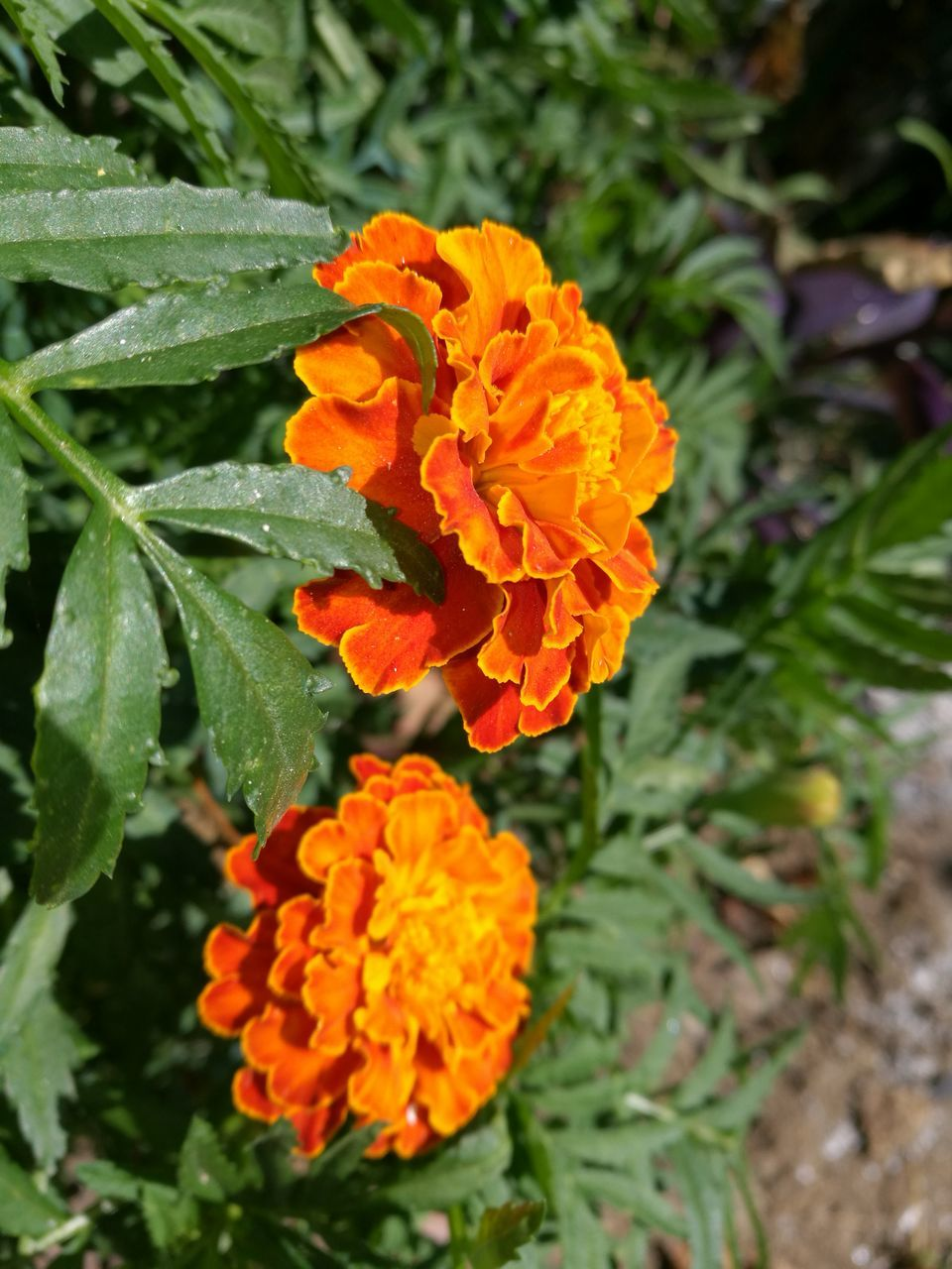 flower, growth, nature, beauty in nature, orange color, petal, freshness, plant, leaf, blooming, flower head, no people, outdoors, day, fragility, marigold, close-up