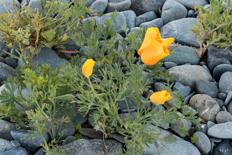 Yellow beauty Plant Flowering Plant Growth Flower Beauty In Nature Yellow Nature Vulnerability  Fragility Petal Flower Head No People Freshness Inflorescence Leaf Close-up Day Plant Part Rock High Angle View Outdoors Springtime Flowerbed