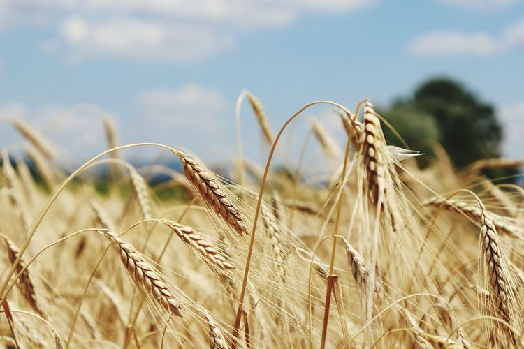 EyeEm Selects Wheat Cereal Plant Agriculture Rural Scene Field Crop  Close-up Sky Plant Ear Of Wheat Cultivated Land Farm Plantation Agricultural Field Rye - Grain Grain Plant Stem My Best Photo