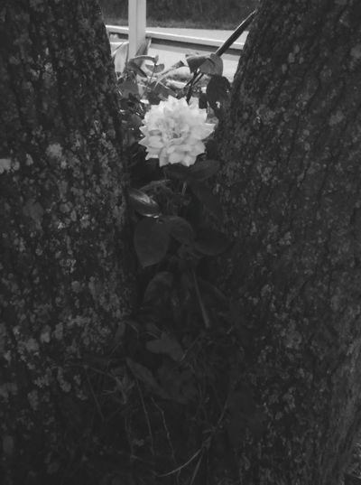 Love can sprout in the most unexpected moments. Rose♥ Tree Black & White Love Notsure Built Structure Day Architecture Nature Outdoors No People Close-up Tree First Eyeem Photo