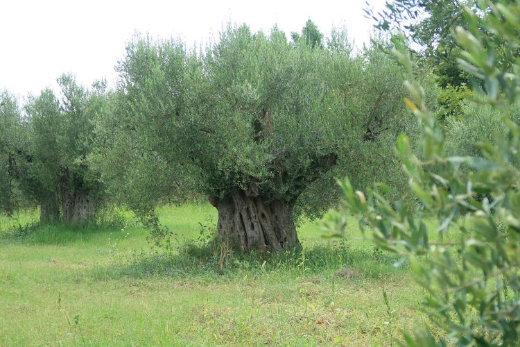 Olive grove Green Olive Olive Grove Olive Tree Tree Trees Branch Environment Field Foliage Grass Green Color Growth Land Landscape Lush Foliage Nature No People Olive Trees Olives Outdoors Plant Rural Scene Tranquil Scene Tree