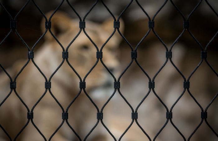 imprision Copy Space EyeEm Best Shots EyeEm Nature Lover Lion Prisioner Zoo Animal Animal Head  Animal Themes Backgrounds Chainlink Fence Close-up Defocused Fence Lions Metal No People Outdoors Pattern Prision Protection Zoo Animals  Zoology