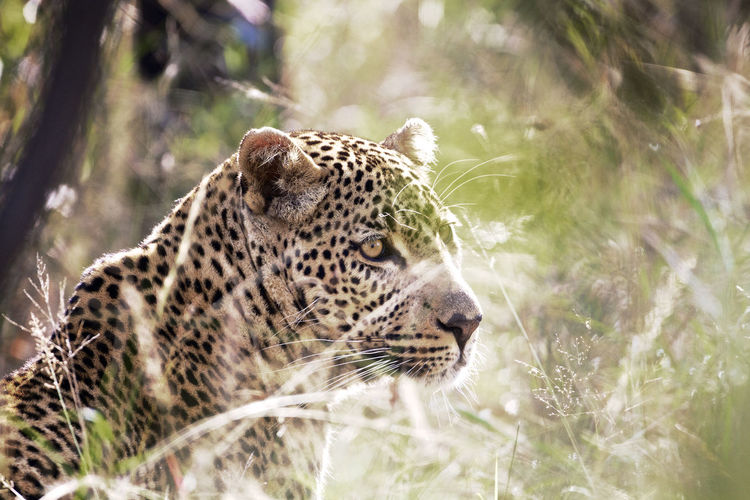 Low Angle View Of Leopard In Grass