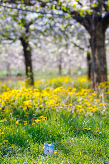 time for nature Alarm Clock Apple Orchard Blossom Blue Clockface Dandelion Field Grass Green Hour Minute Hand Nature Lover Old Fashioned Spring Spring Flowers Springtime Time Time Clock Time Concept Yellow Flower
