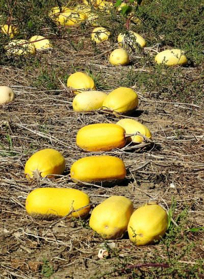 High angle view of yellow fruits on field