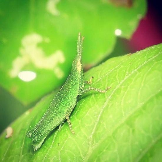 Hidung runcing. Grasshover Belalang Insectstagram Tgif_macro