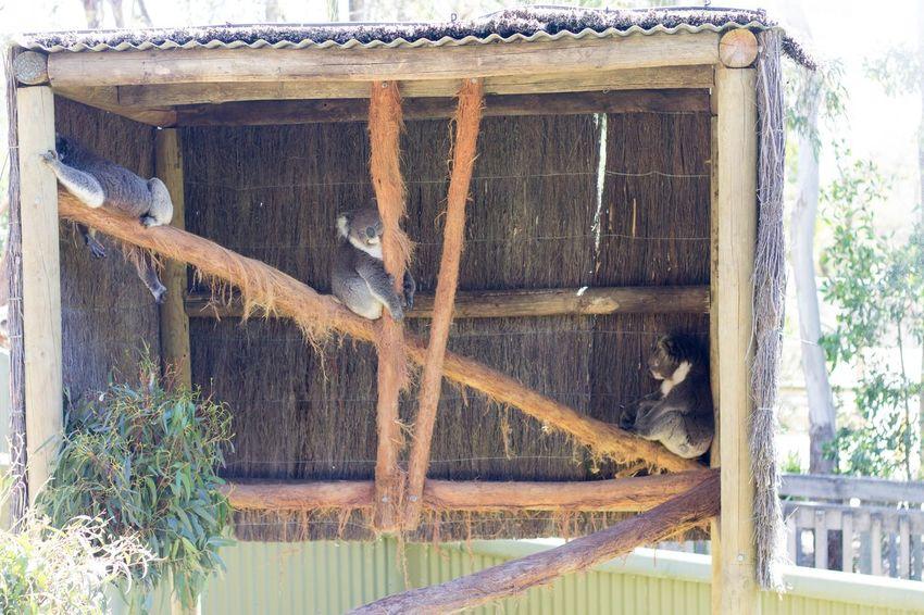 Lounging Koalas No People Day Outdoors Wood - Material Tree Australia Ballarat  Wildlife Photography Ballarat Wildlife Park Animal Themes Animal Wildlife Cage Domestic Animals Mammal Tree Beauty In Nature Koalabear Koala 🐨 Koala