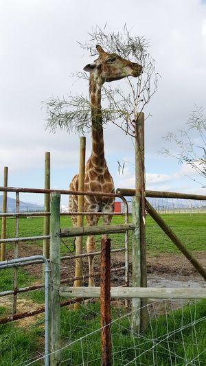 Giraffe House Giraffe Verytall Stunning Eating Leaves Fun Day Out