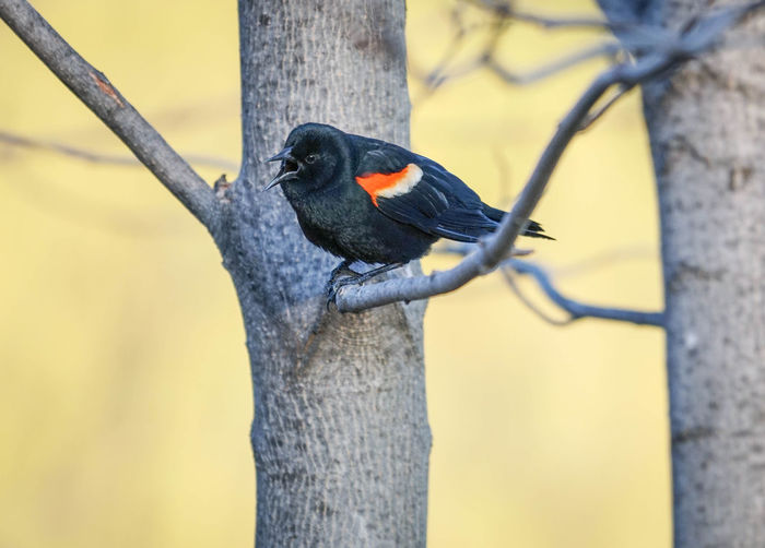 Red-winged blackbird perching on tree