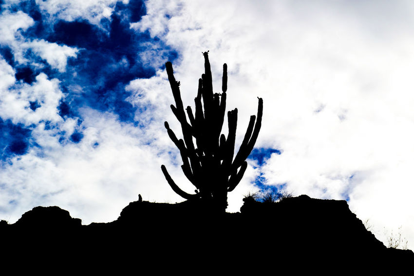 Silueta de Cactus. Art Beauty In Nature Blue Cactus Cactus Paradise Cactuslover Cloud Cloud - Sky Cloudy Day Growth Low Angle View Nature No People Outdoors Outline Sky Tranquility