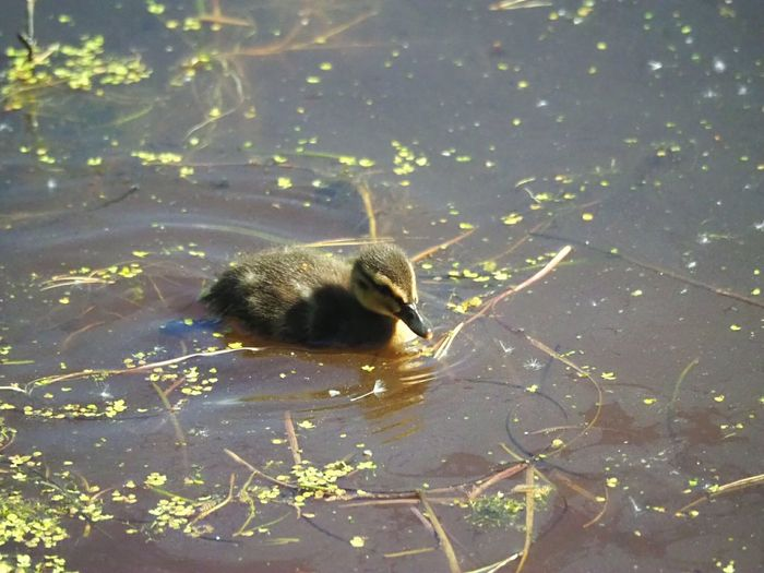 Duck Baby Ducks At The Lake Swimming Ducklings Calm Water Animal Wildlife Bird Photography Nature's Diversities Nature_ Collection  Nature Photography Little Bird Animalphotography Bird's Eye View Bright Day Bird Babies Sweet Close-up