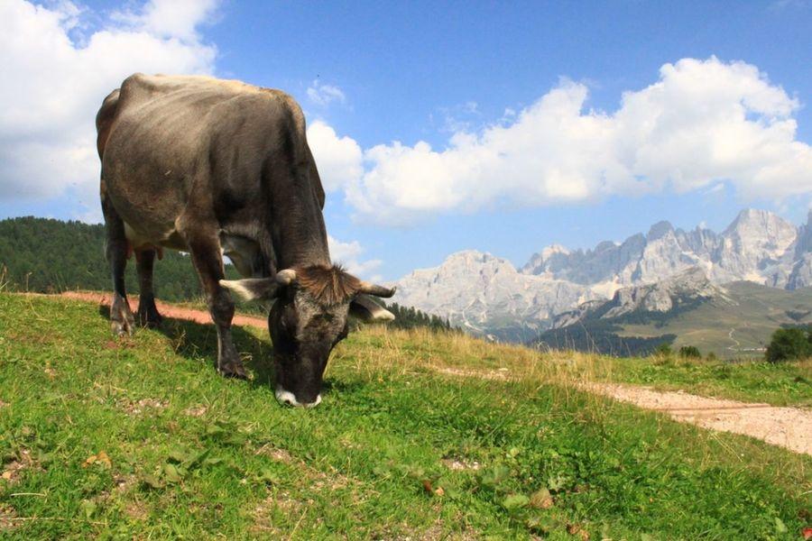 Animal Themes Cloud - Sky Cow Domestic Animals Grass Herbivorous Livestock Mountain Animal Nature One Animal Outdoors Pasture