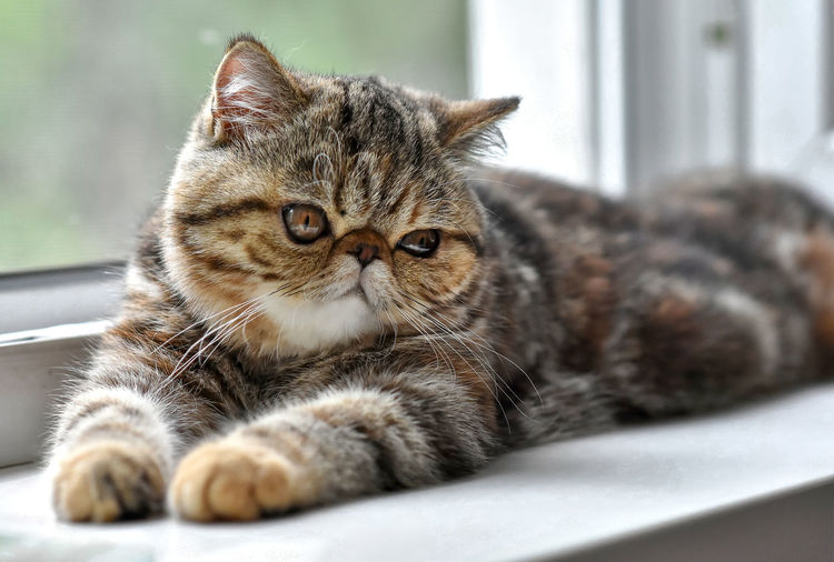 Brown exotic shorthair kitten lying by the window and looks away.