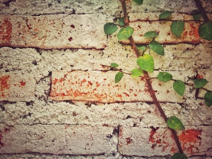 Brick Wall Heart Shape Backgrounds Leaf Full Frame Textured  Close-up Architecture Creeper Creeper Plant