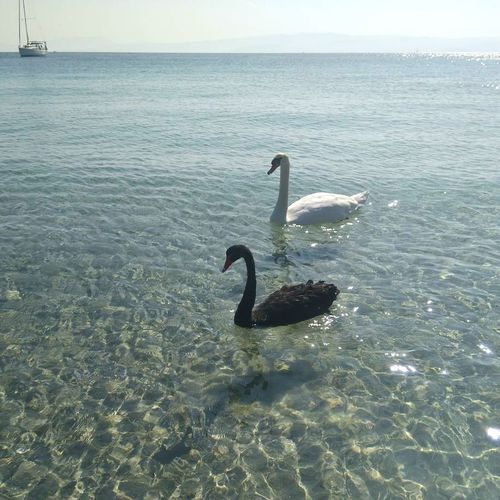 Amazing and friendly swans, swimming with us in the beautiful beach of Koukounaries in Skiathos, Greece! Swan Beauty In Nature Sea Animal Themes Greek Islands