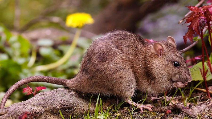 Close-up side view of a rat