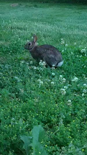 Rabbit Rabbit Grass