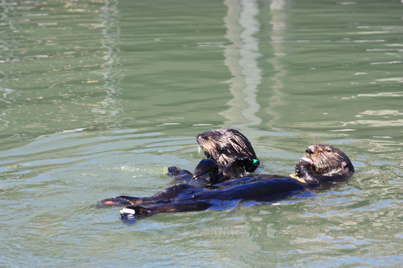 California Harbour Moss Landing, CA Sea Otters Animal Wildlife Animals In The Wild Travel Destinations Water