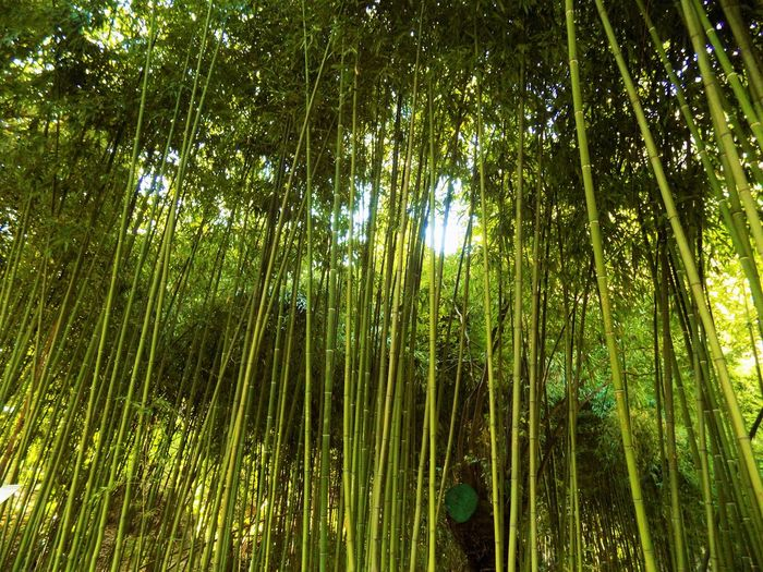 Perspectives On Nature Bamboo - Plant Bamboo Grove Beauty In Nature Day Forest Green Color Growth Nature Outdoors Tranquility Tree Tbilisi Georgia Tbilisi Botanical Garden
