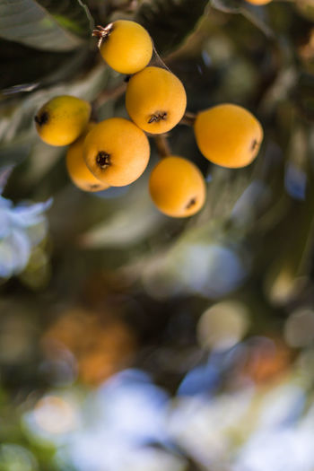Loquats Beauty In Nature Bokeh Bokeh Photography Bokehlicious Close-up Dark Green Day Food And Drink Fresh Fruit Green Leaves Hanging Loquats Nature No People Orange Orange Color Organic Outdoors Ready To Pick Ripe Sweet Tree Yellow Yellow Color