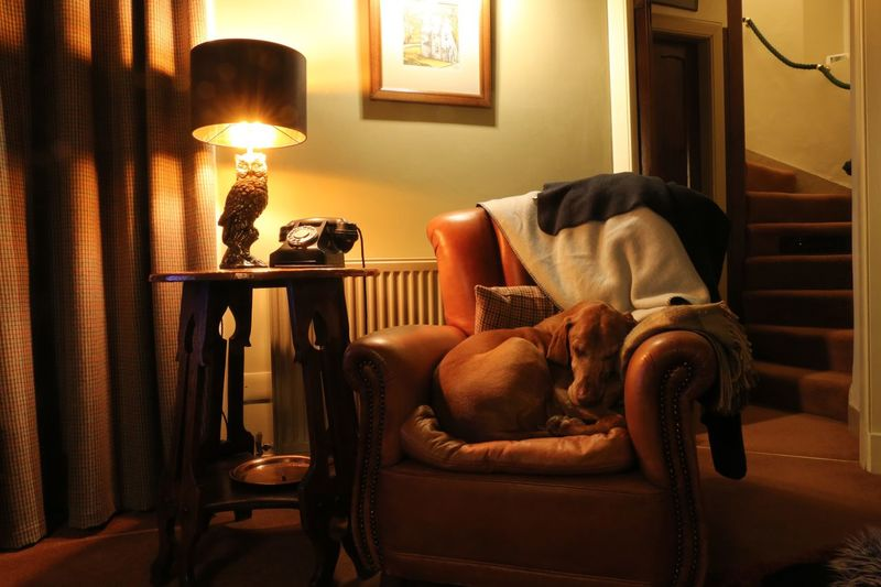 Dog tired. Dog Sleepy Vizsla Chair Indoors  Seat Furniture Home Interior No People Lighting Equipment Domestic Room Electric Lamp Table Living Room Sofa Illuminated Armchair Comfortable Relaxation Pillow Window Home