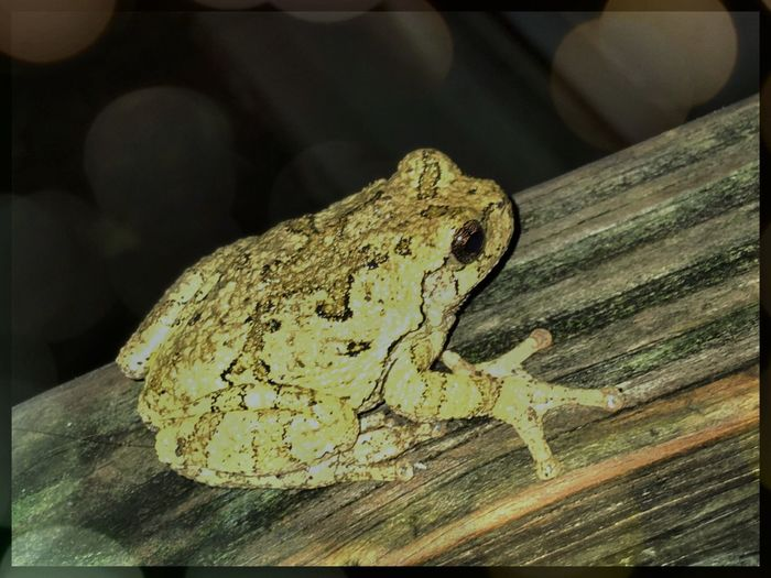 Tree Frog Ohio Wildlife Frog One Animal Animal Themes Animals In The Wild Lizard Reptile Close-up Wood - Material Zoology Amphibian Focus On Foreground No People