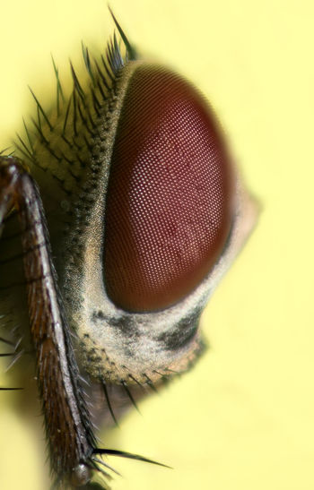 Eye Fly Bug Nature Wildlife Outdoors Garden Closeup Macrophotography Focusstacking Focus Stacking Insect Macro Microbiology Animal Eye
