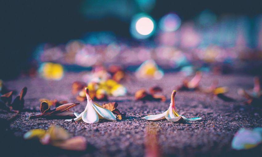 Close-up of frangipani flowers on street