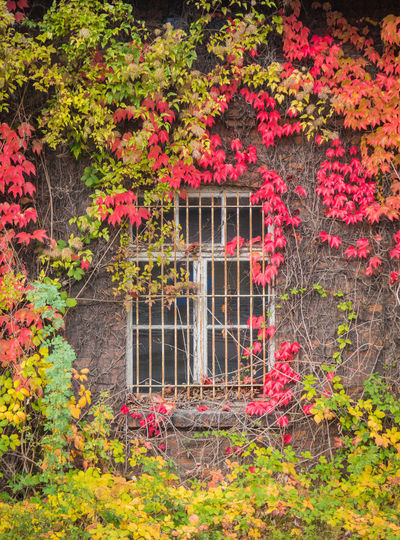 Red ivy on house with white window Flower Plant Flowering Plant Nature No People Beauty In Nature Architecture Growth Multi Colored Day Built Structure Building Exterior Pink Color Window Garden Freshness Outdoors Building Red House Cottage