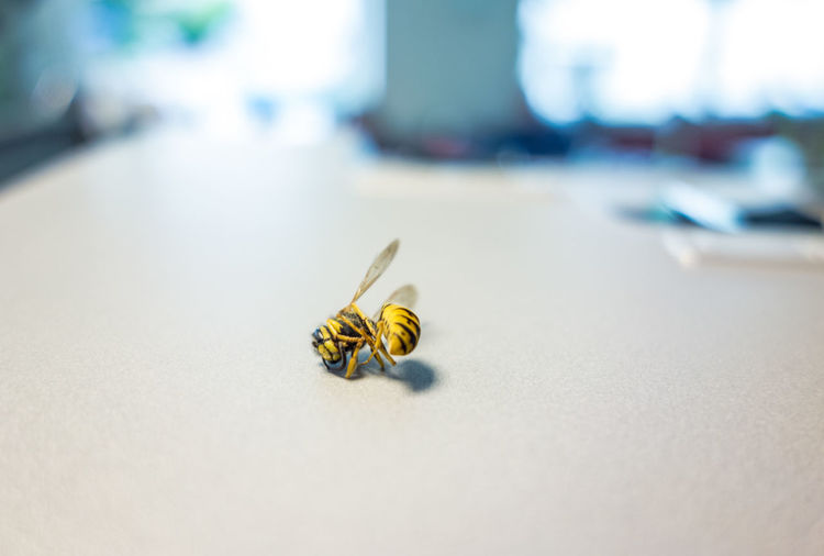 Close-up of dead wasp on table