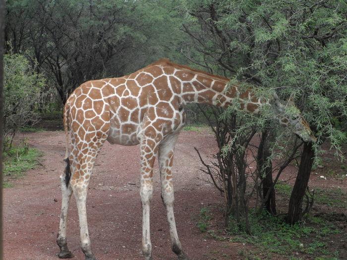 Animales Girafa Leon Guanajuato Zoológico