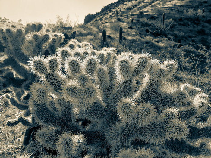 Full frame shot of cholla cactus growing on field
