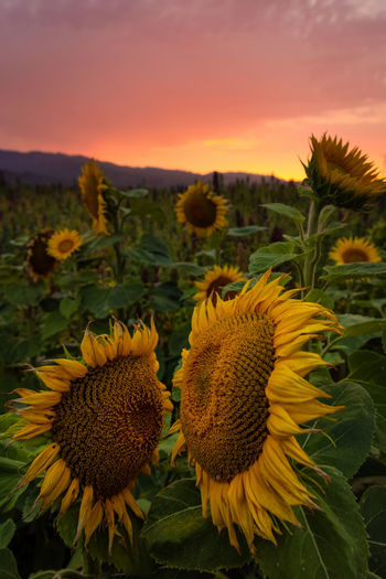 Close-up of sunflower on field during sunset