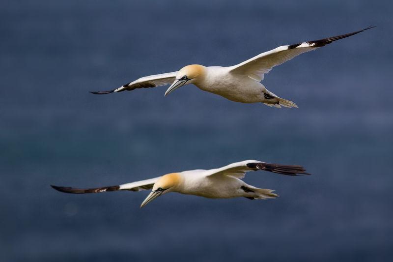 Gannets flying over sea
