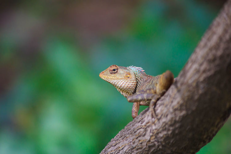 Lizard Animal Animal Eye Animal Head  Animal Scale Animal Themes Animal Wildlife Animals In The Wild Bearded Dragon Branch Close-up Day Focus On Foreground Lizard Nature No People One Animal Outdoors Plant Reptile Selective Focus Side View Tree Vertebrate