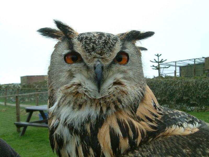 Eagle Owl  Wildlife Nature Bird Bird Of Prey Amber Eyes Close Up Beautiful Birds