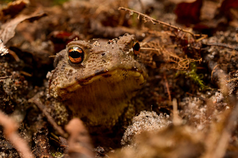 Animals In The Wild EyeEm Nature Lover EyeEmNewHere Frog Macro Beauty Macro Photography Toad Animal Animal Themes Animal Wildlife Animals In The Wild Beauty In Nature Brown Close-up Day Macro Nature Nature One Animal Outdoors