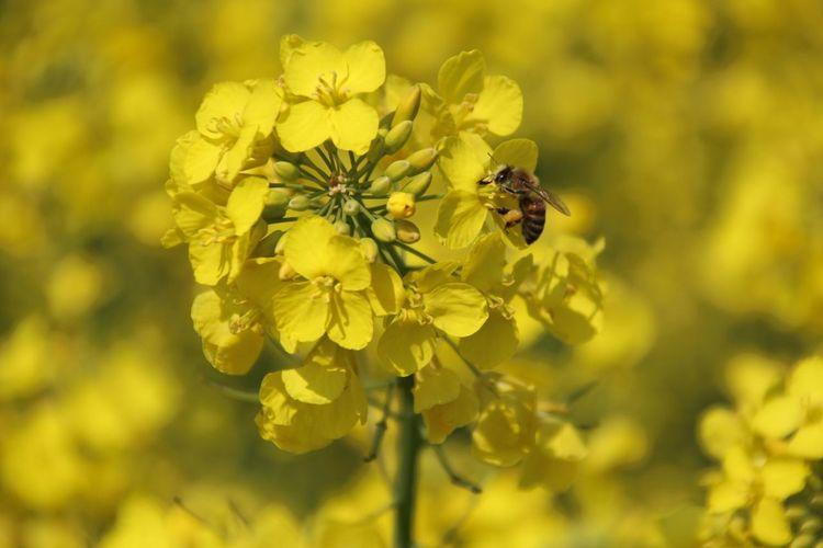 Bee Flowers Relaxing Springtime Rapsfeld Raps Yellow Macro