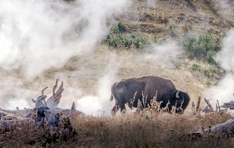 A large bison stands in geothermal steam in yellowstone national park