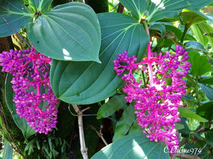 Medinilla Plant Plant Green Color Nature Purple Beauty In Nature Leaf Growth Flower Freshness No People Fragility Outdoors Petal Blooming Day Close-up Flower Head EyeEmNewHere