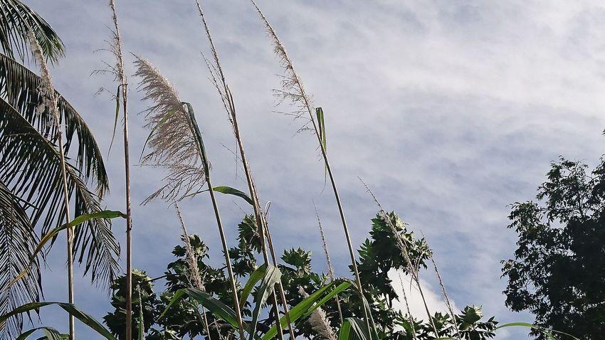 Num certo sábado à tarde, pendões de cana balançavam ao vento.... Beauty In Nature Blue Close-up Cloud Cloud - Sky Cloudy Day Growth Low Angle View Nature No People Outdoors Scenics Sky Tranquility