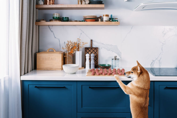 Funny shiba inu dog wants to steal one meatball in absence of her owners. funny pets on the kitchen