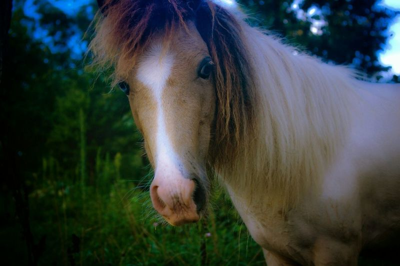 Portrait of horse with long mane