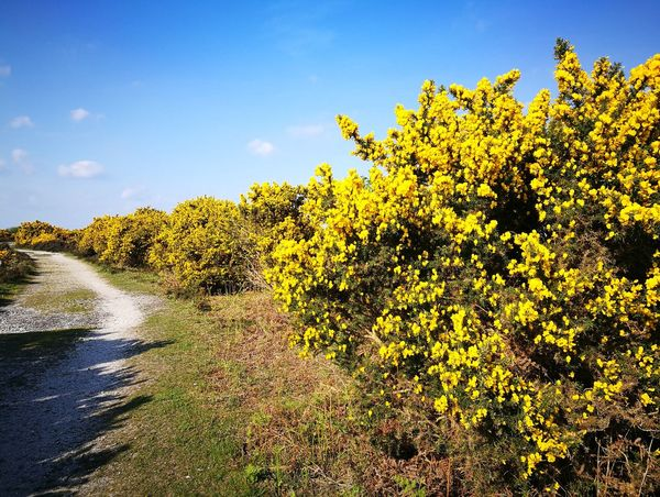 Nature Outdoors Sky Landscape Beauty In Nature Scenics Flower New Forest, Hampshire. UK Gorse Bush New Forest National Park Springtime Gorse Flowers