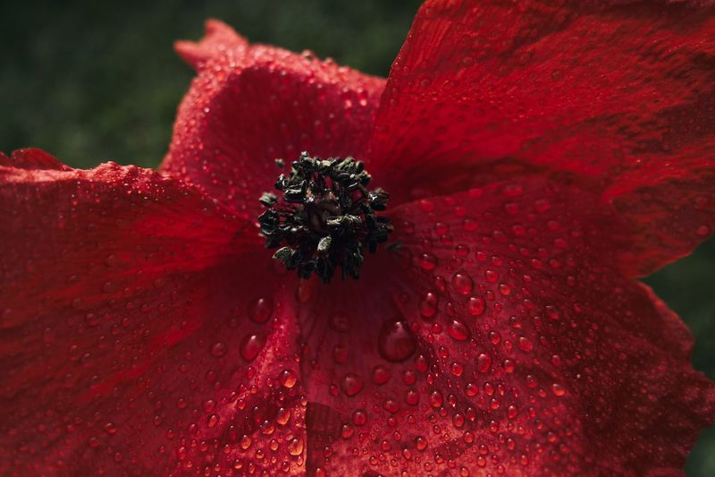 Dew Drops Red Close-up Flowering Plant Freshness Flower Inflorescence Flower Head Nature Drop Water Growth No People Focus On Foreground Beauty In Nature Vulnerability  Fragility Plant Petal Pollen Outdoors