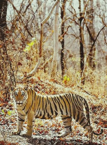 Tiger One Animal Animals In The Wild Animal Themes Animal Wildlife Day Nature No People Outdoors Mammal White Tiger Tree Forest Animal Markings Full Length