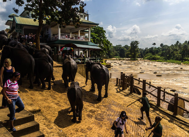 Elephant Orphanage Group Of Elephants Day Outdoors Bathing Elephants Travel Destinations Tourists Attraction Pinnawala Elephant Orphanage