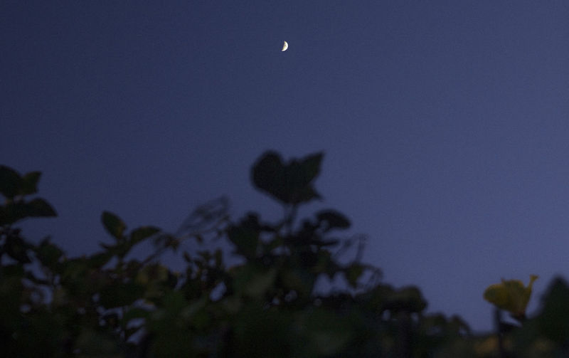 Sky Moon Beauty In Nature Plant Low Angle View Nature Tree Tranquility Night No People Crescent Tranquil Scene Dusk Clear Sky Outdoors Astronomy Silhouette Scenics - Nature Growth Space Full Moon Planetary Moon Moonlight